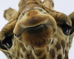 disapproving giraffe